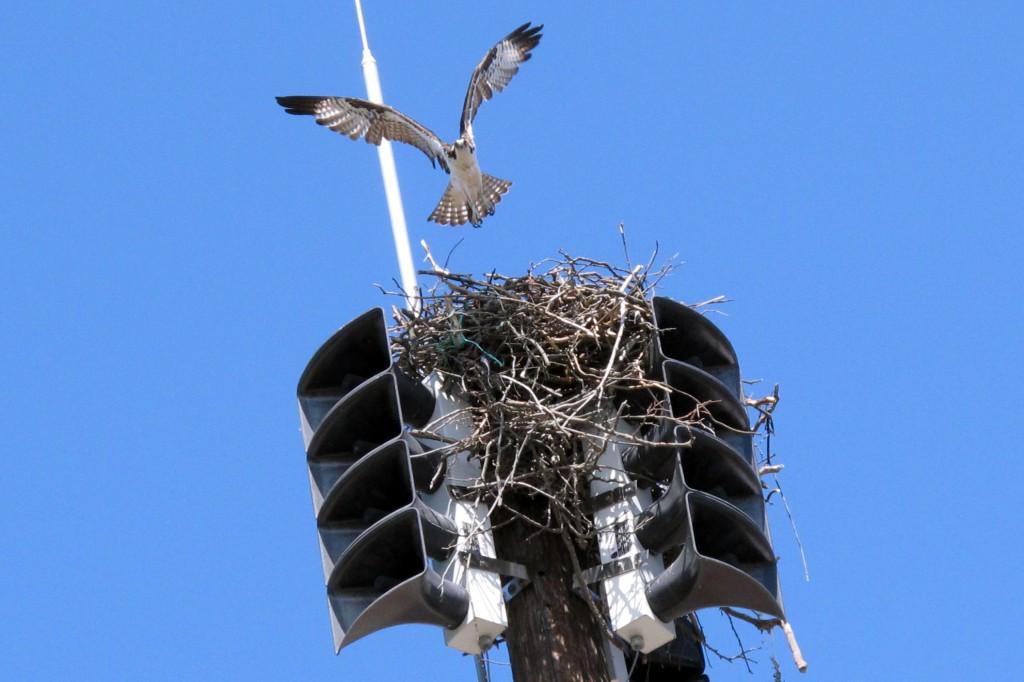 Скопы свили гнездо на сиренах оповещения о пожаре